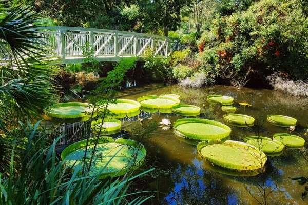bridge overlooking the giant water lily garden